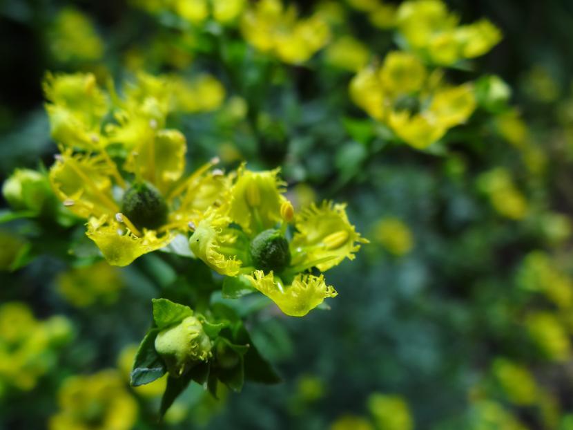 Flores de Ruta graveolens