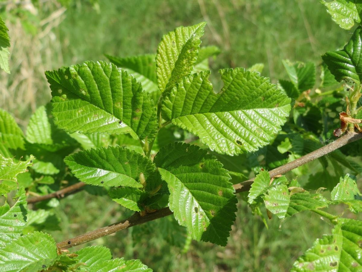 Las hojas de los olmos son comidas por muchos insectos