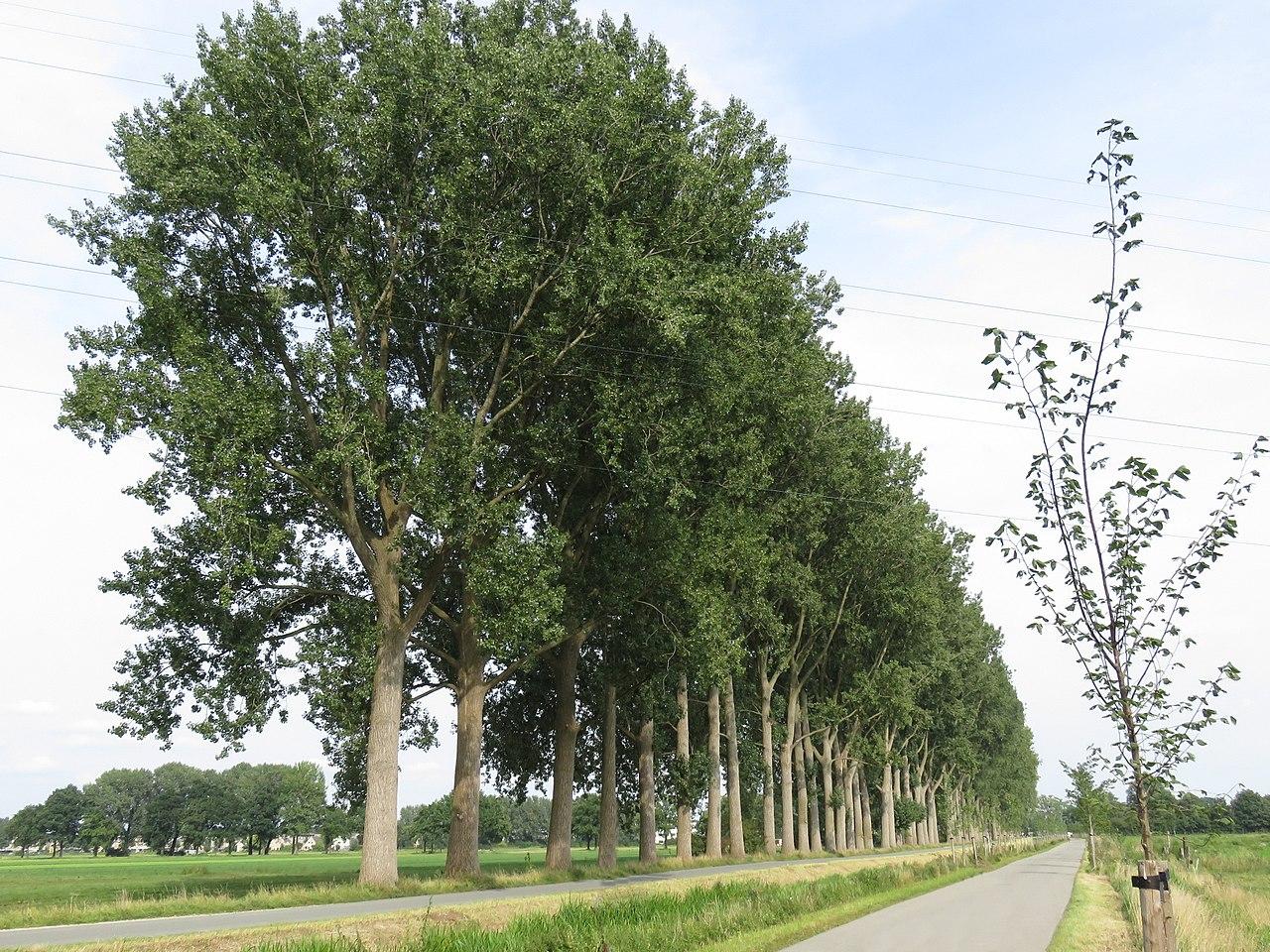 El Populus x canadensis es un álamo de jardín bonito