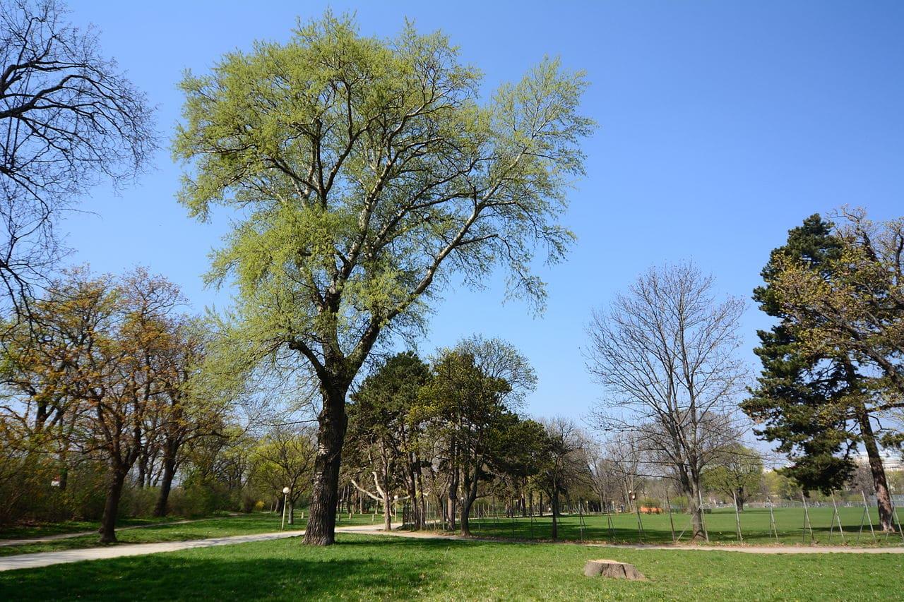 El Populus canescens es un árbol de hoja caduca