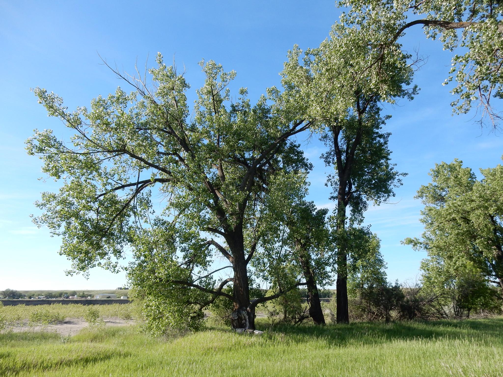 El Populus deltoides es un árbol de rápido crecimiento