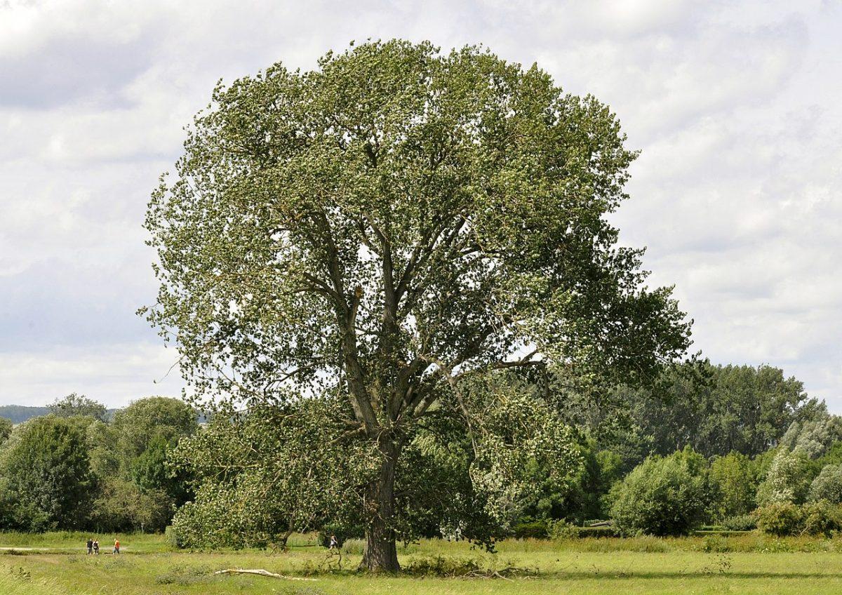 El chopo negro es un árbol común