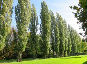 El chopo es un árbol caducifolio