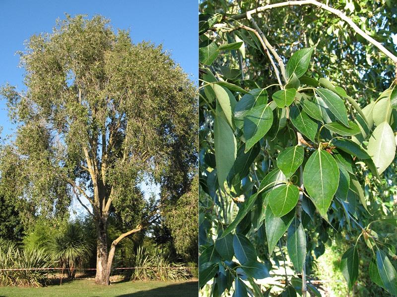 El Populus simonii es un árbol caducifolio