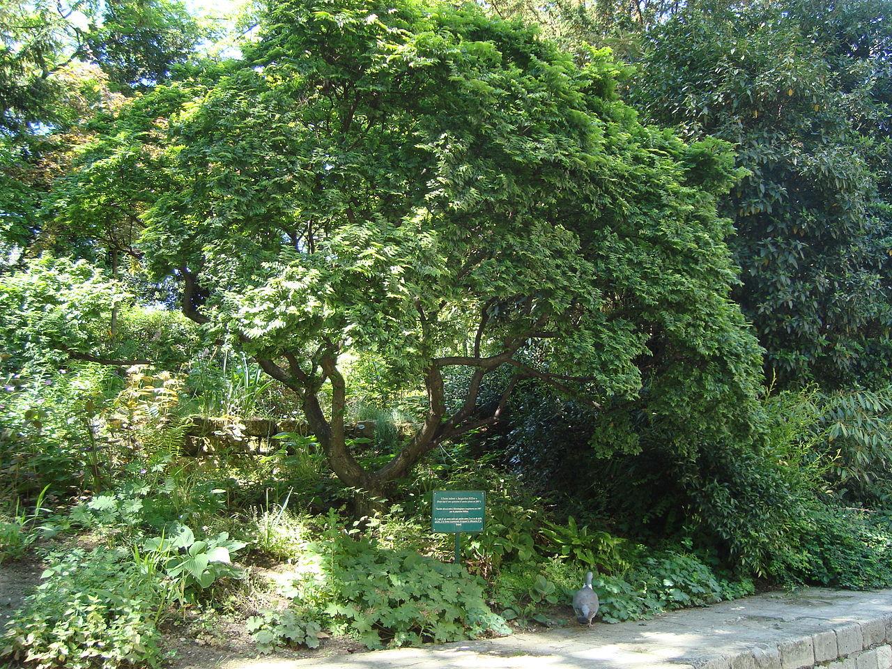 El Ulmus minor es un árbol de rápido crecimiento