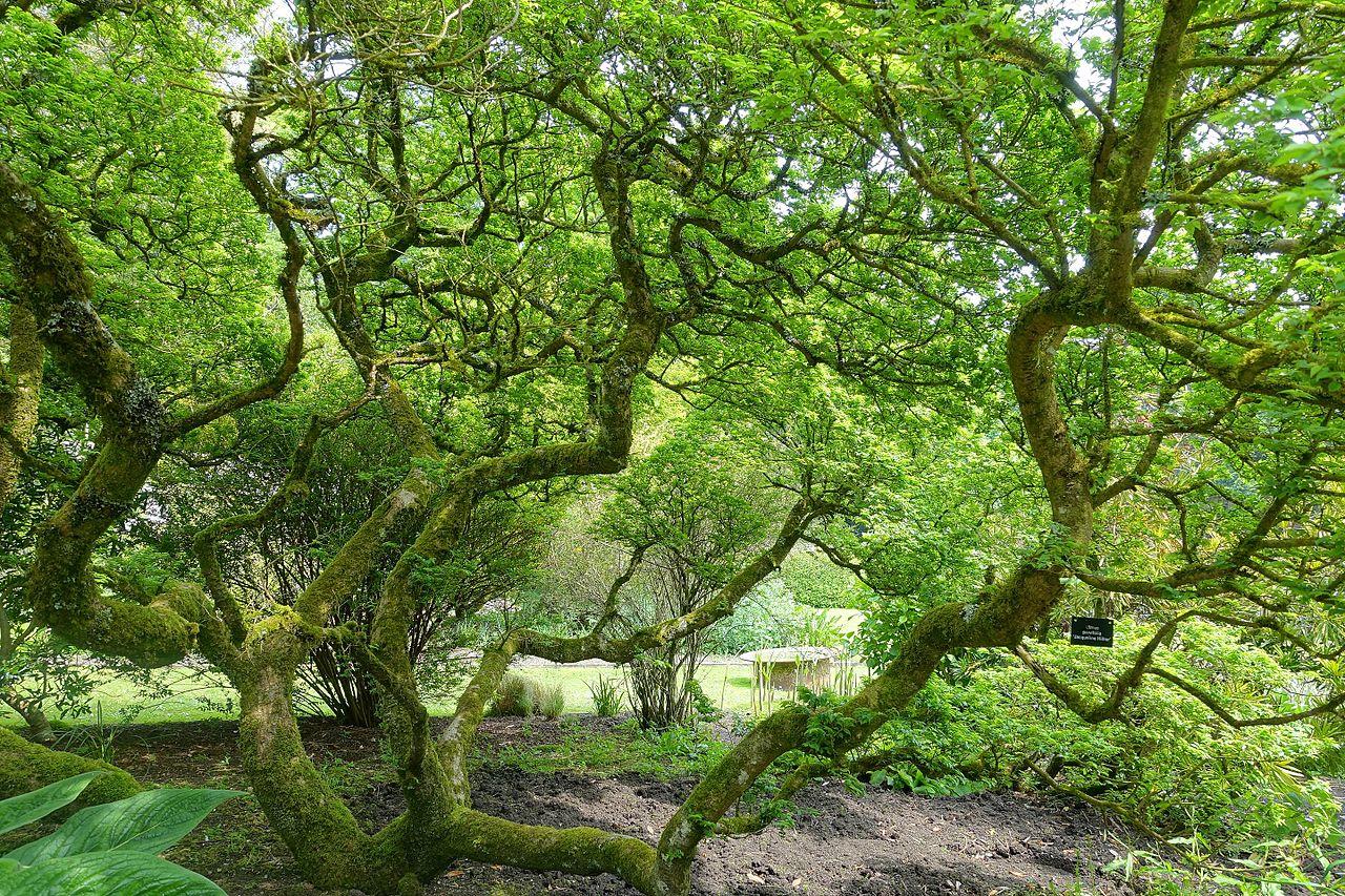 El Ulmus parvifolia crece más de 30 metros