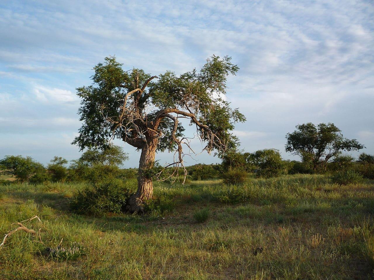 El Ulmus pumila es un árbol caduco
