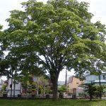 Los zelkova son árboles caducifolios