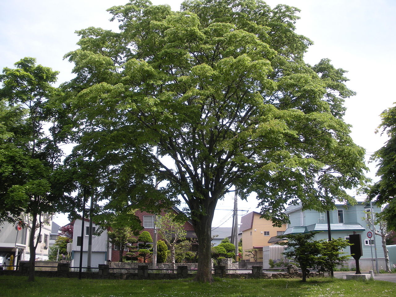 El Zelkova serrata es un árbol de origen asiático