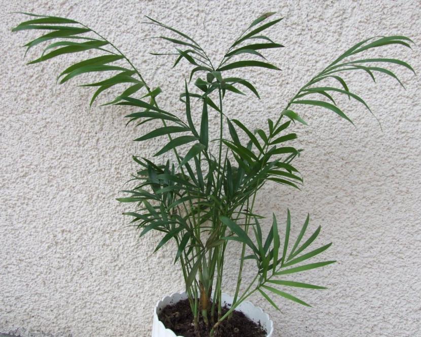 Palmera Chamaedorea elegans