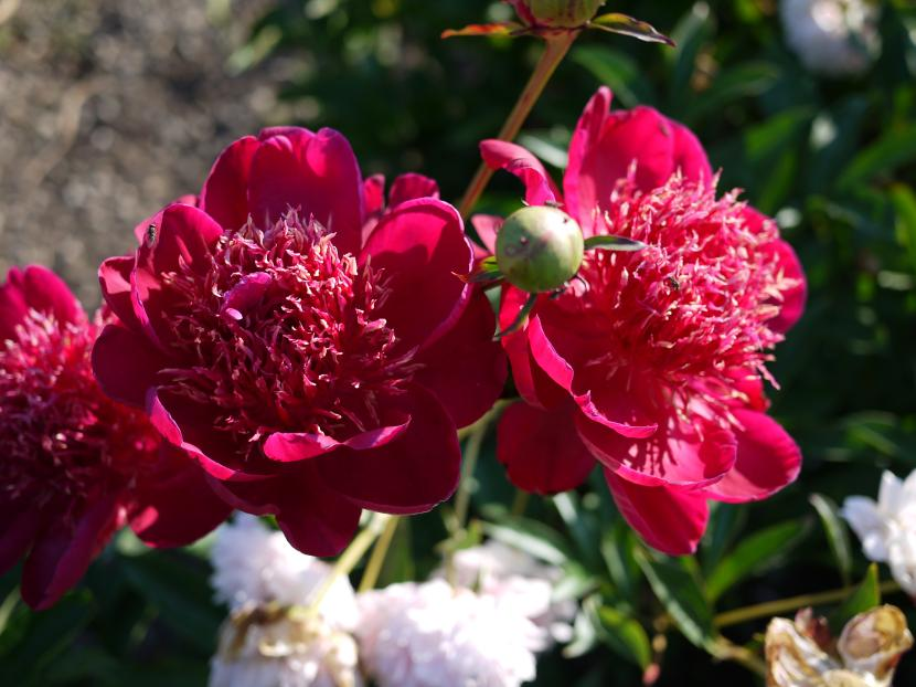 Paeonia Red Emperor