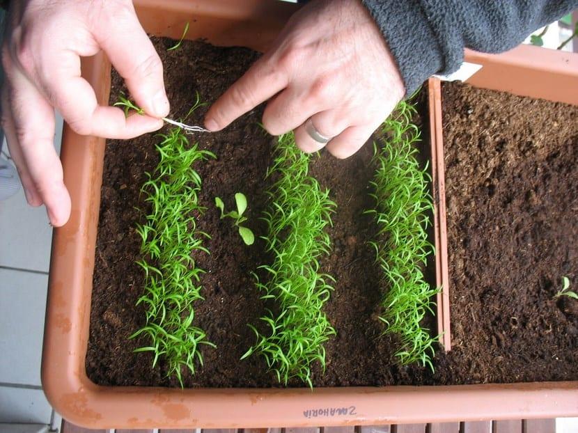 Aclarear plantas