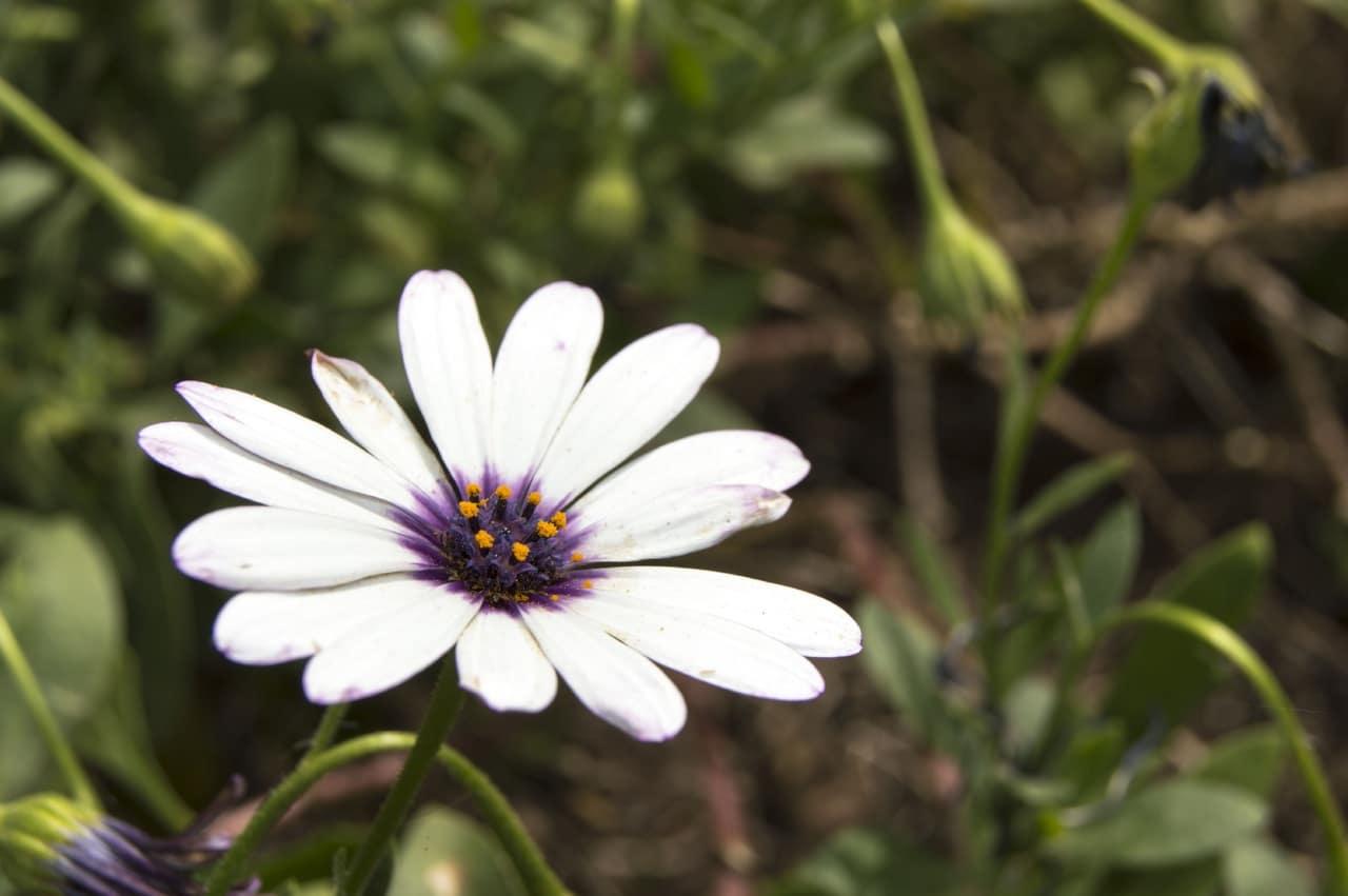 Las flores de la dimorfoteca son como margaritas