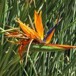 La flor de la Strelitzia juncea es naranja