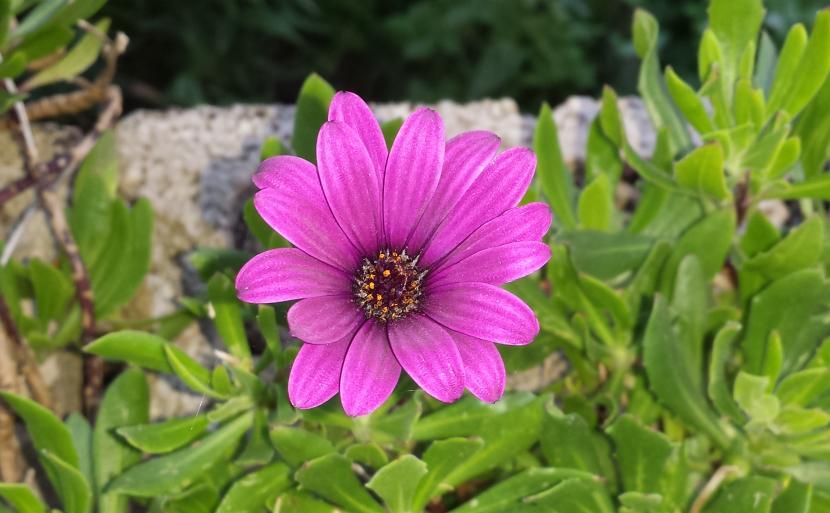 Flor de dimorfoteca