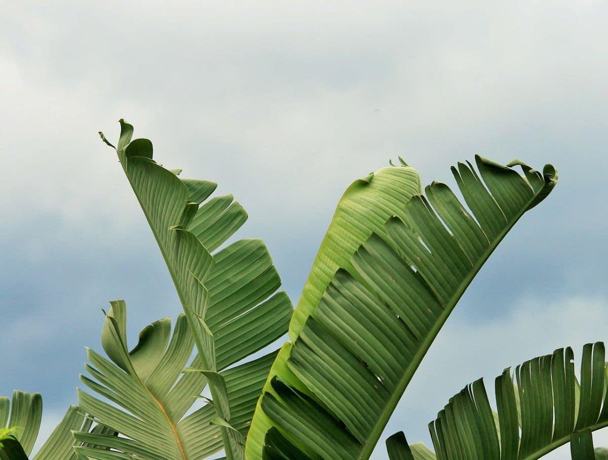 Las Strelitzia tienen hojas verdes