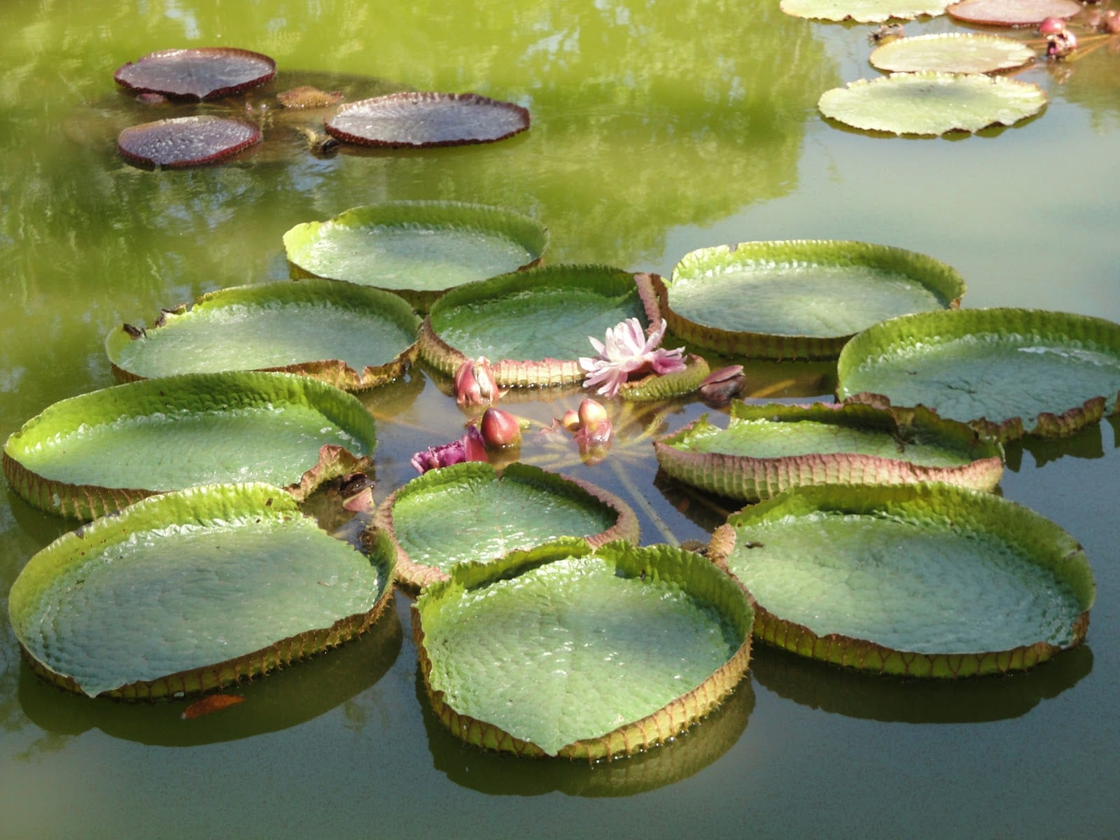 Plantas acu ticas en el estanque for Peces que no necesitan oxigeno