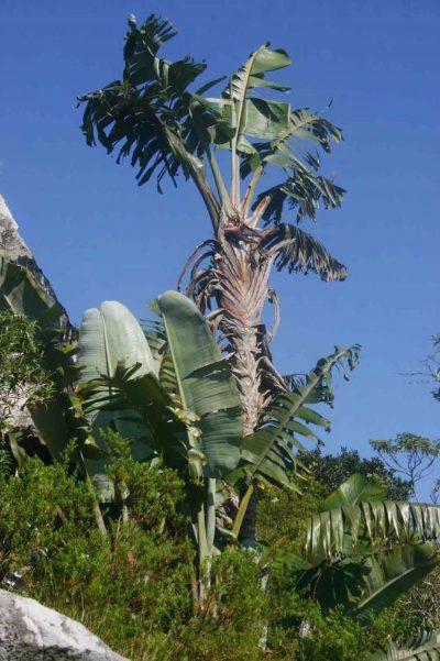 La Strelitzia caudata es grande