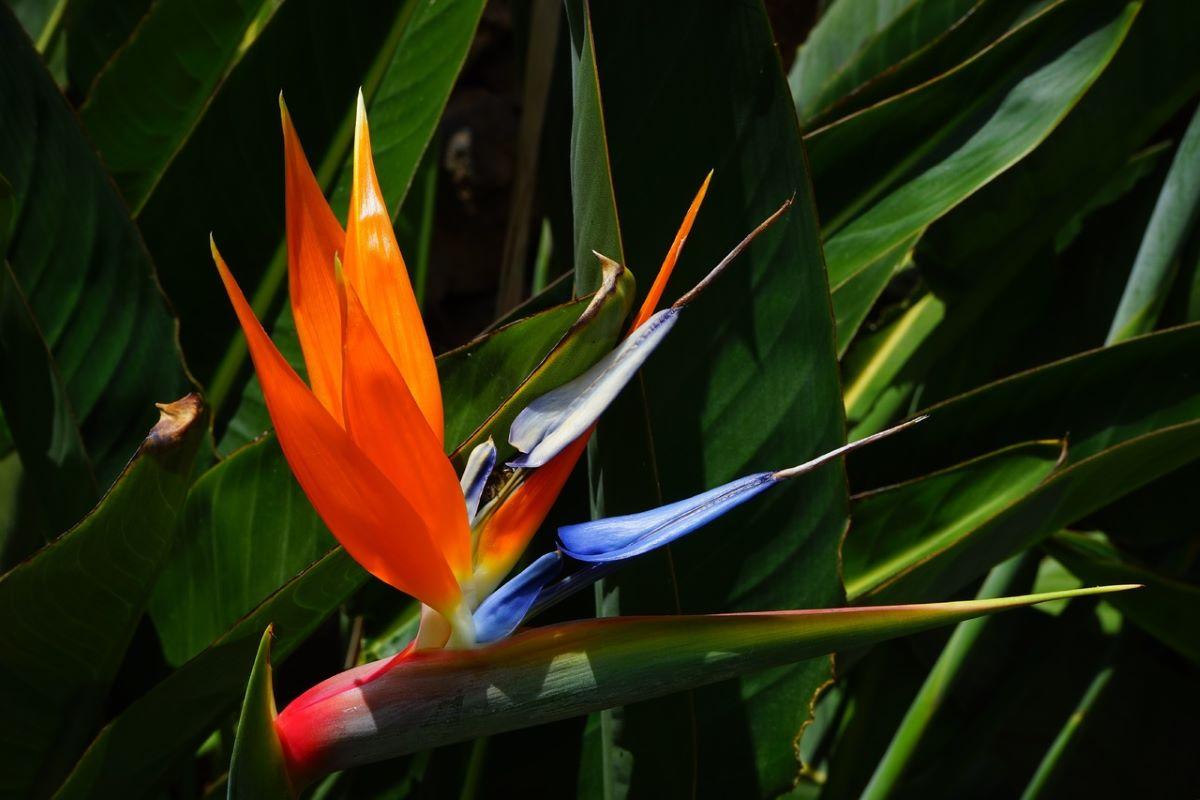 Las Strelitzia son plantas con flores muy bonitas