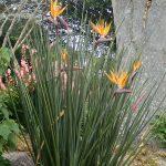 La Strelitzia juncea es bonita