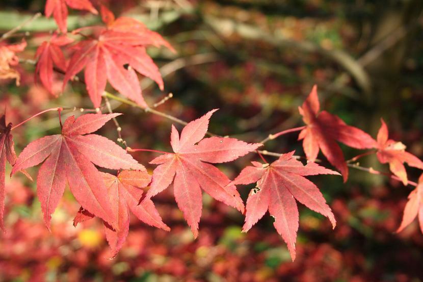 Diferentes variedades de arce japon s - Arce arbol variedades ...
