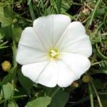 Flor de Convolvulus arvensis