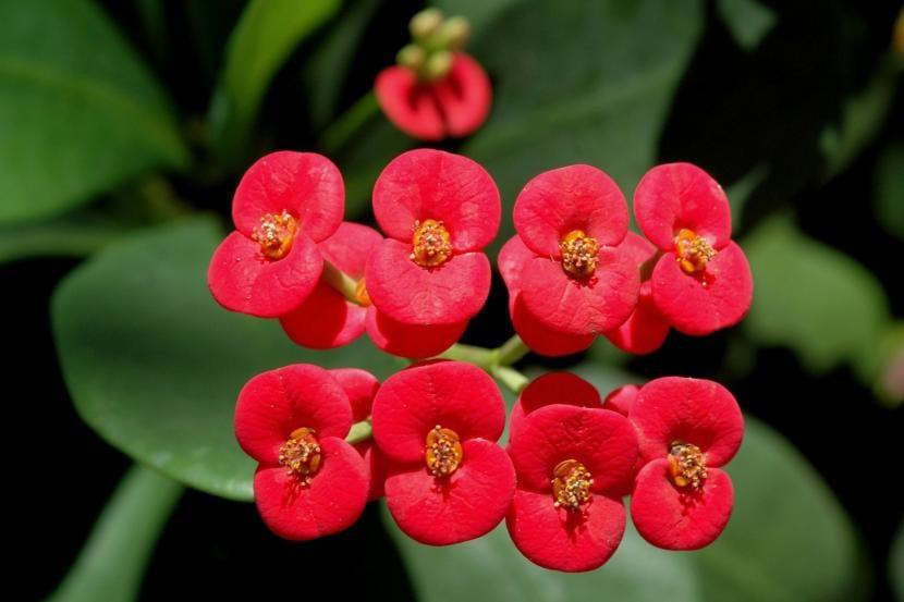 Euphorbia milii, una planta perfecta para decorar