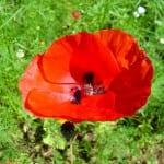 Papaver, amapola, el icono de las flores silvestres