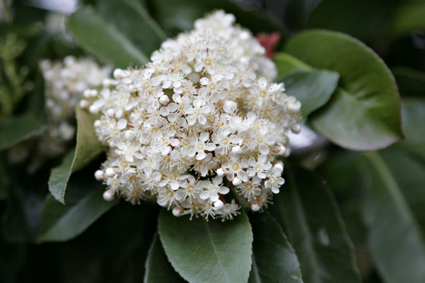 Flores de la Fotinia
