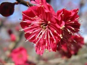 Prunus mume Yaekanko