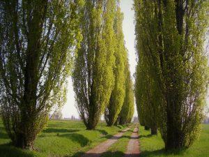 Los álamos son árboles de rápido crecimiento