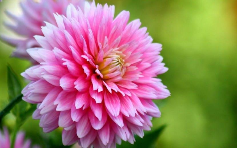 Flor rosa de Dalia