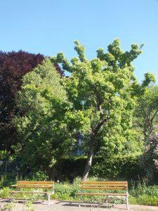 El Acer tataricum es un árbol caducifolio