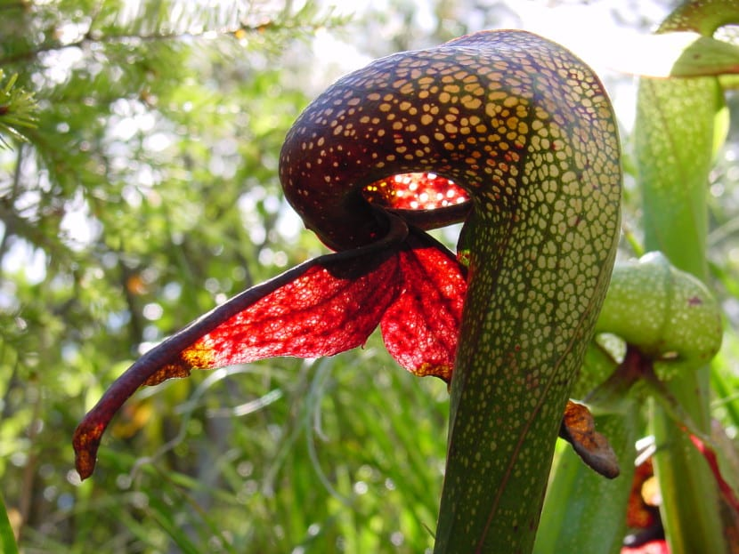 Darlingtonia californica en hábitat
