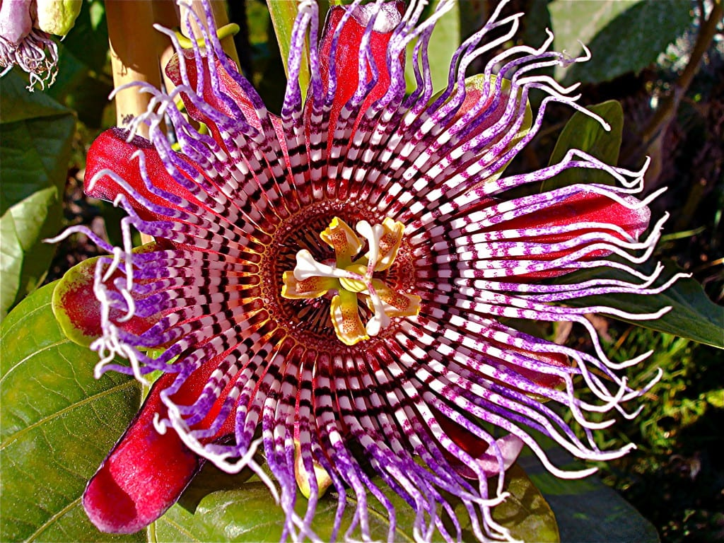 Passiflora x decaisneana