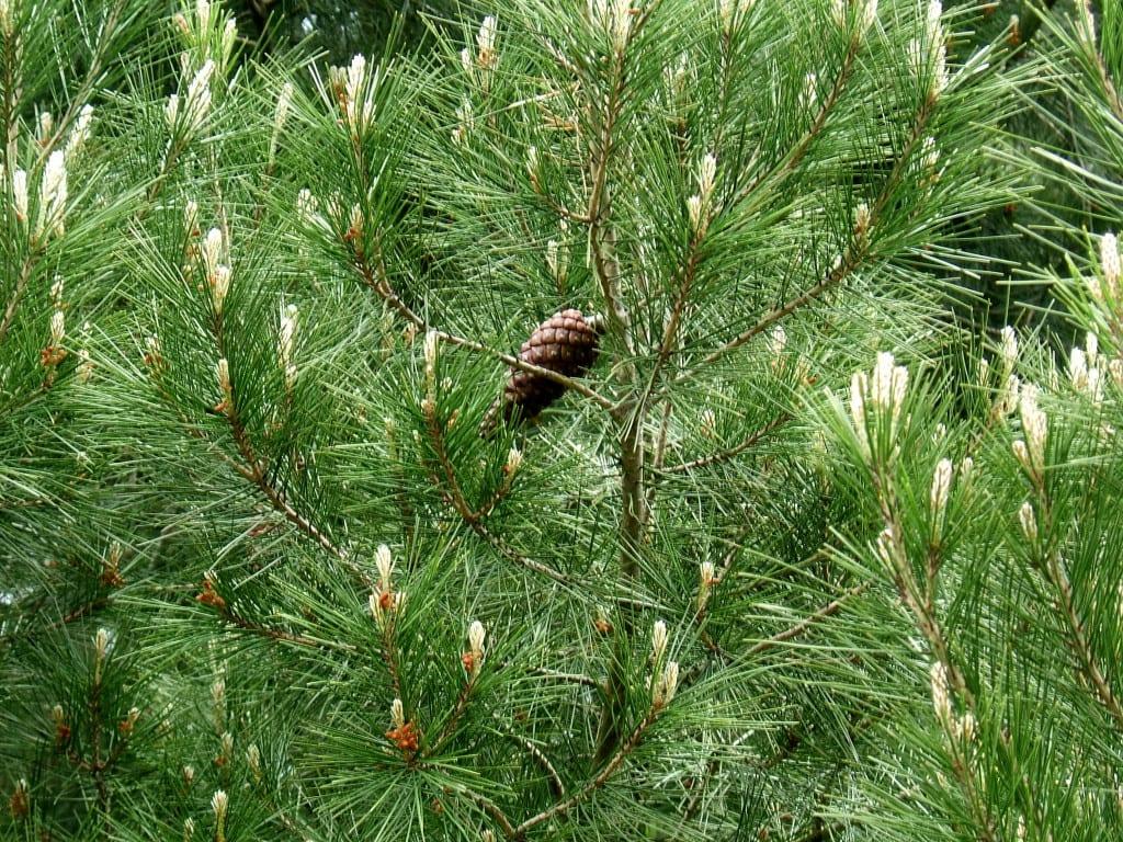 Hojas del Pinus halepensis