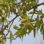 Almendras en Prunus dulcis