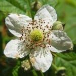 Flor de Rubus fruticosus