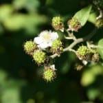 Rubus con frutos verdes