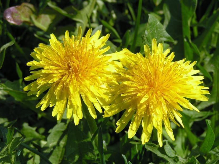 Flores del  diente de león o Taraxacum officinale