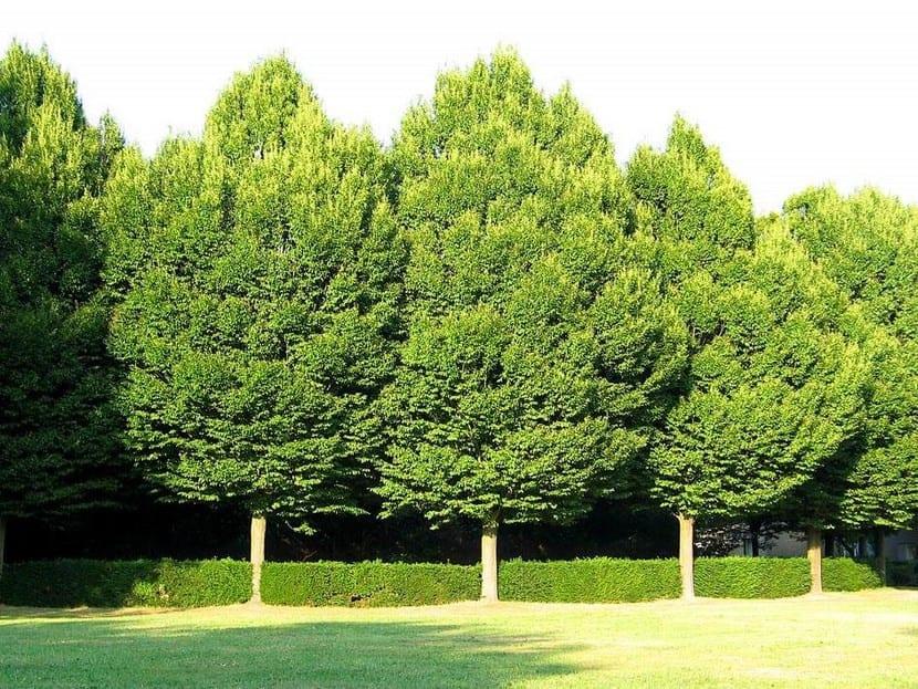 Abedul, un árbol de jardín precioso