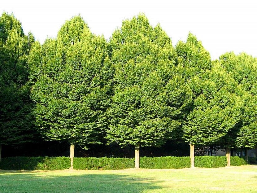 Rboles y arbustos de bajo mantenimiento for Arboles para jardin
