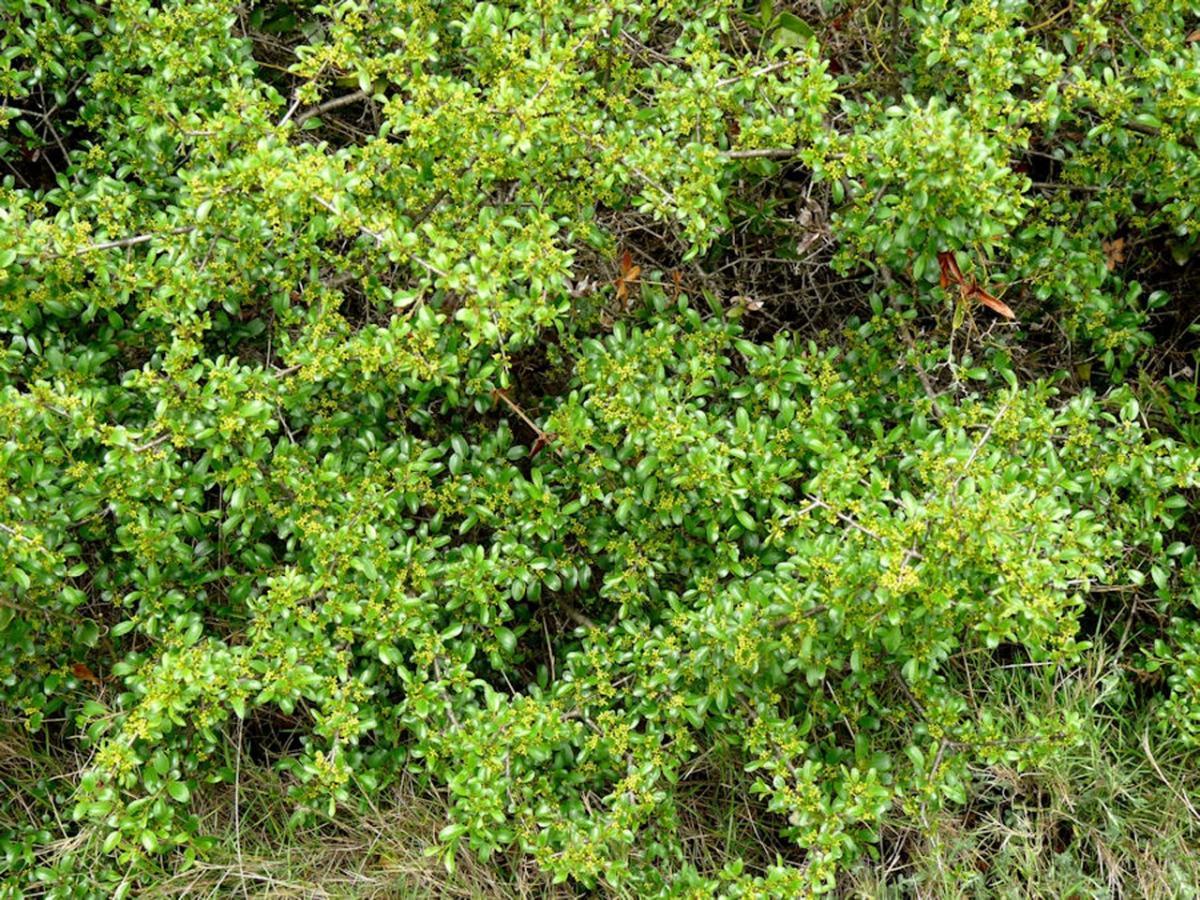 El aladierno es un arbusto perennifolio