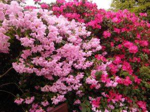Las azaleas son arbustos que producen flores muy alegres