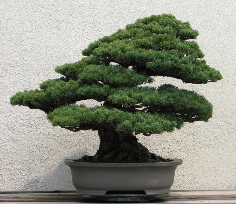 Bonsai pino japonés