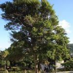 El laurel es un árbol que se reproduce por esquejes