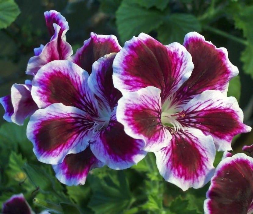 Pelargonium en flor