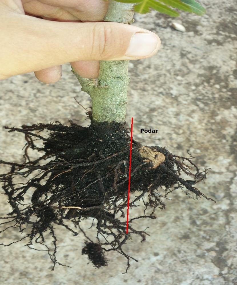 Podar raíz gruesa