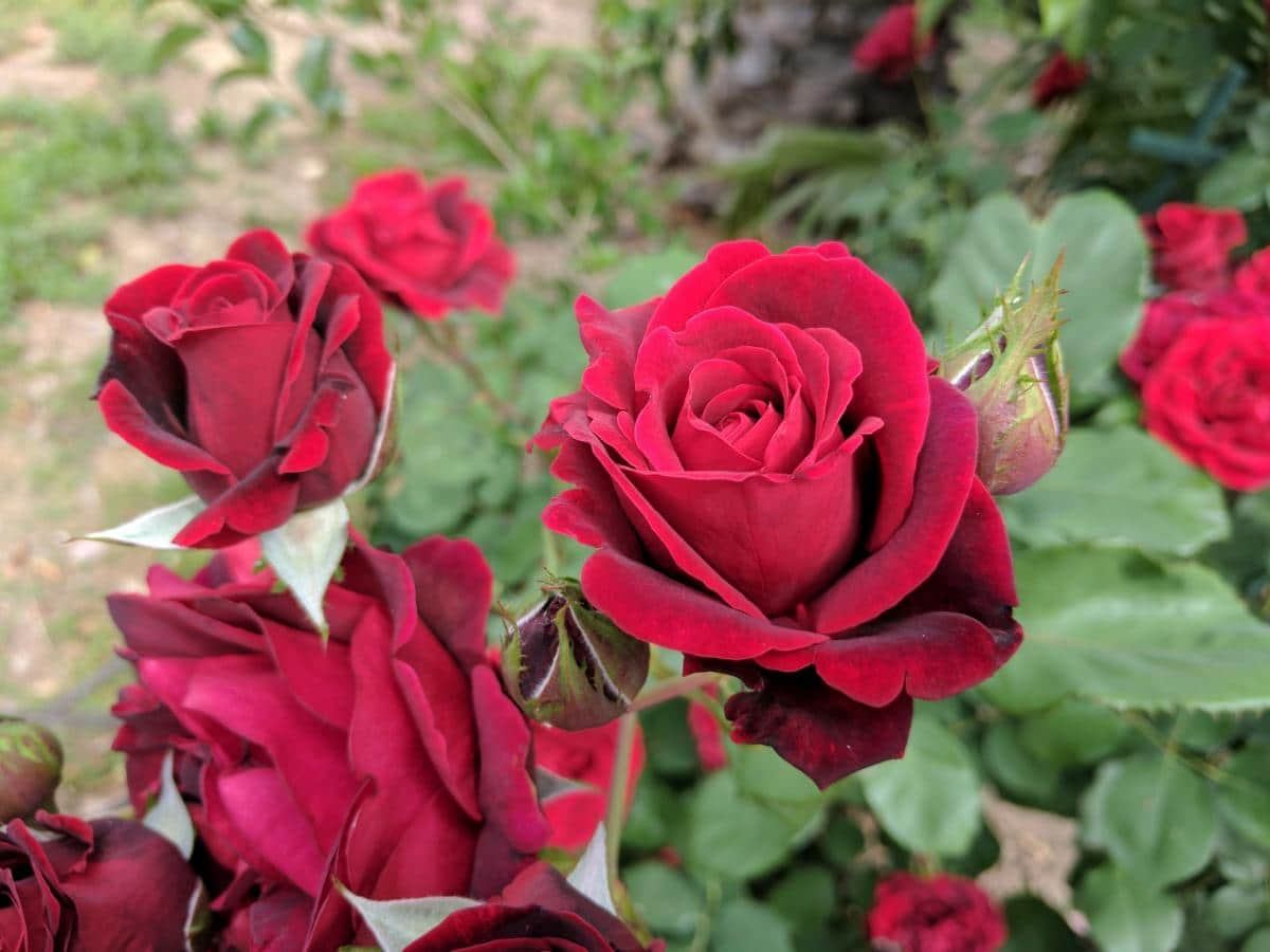 El rosal es un arbusto que crece en media sombra