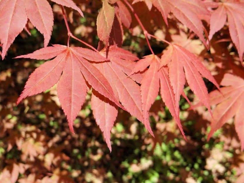 Acer palmatum ''Atropurpureum''